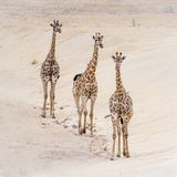 Giraffe in Kruger National park, South Africa stock photos