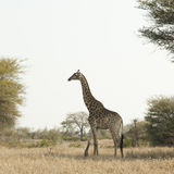 Giraffe  at kruger park Royalty Free Stock Image