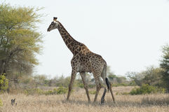 Giraffe  at kruger park Stock Photo