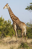 Giraffe. A Giraffe in the Kruger Park - South Africa Royalty Free Stock Images