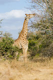 Giraffe in Kruger Park South Africa Stock Image