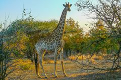 Giraffe in the Kruger Park South Africa looking at sunset. Giraffe in the Kruger Park South Africa looking in camera at sunset Royalty Free Stock Photography