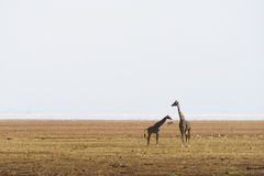 Giraffe in lago Manyara fotografia stock libera da diritti