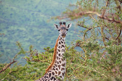 Giraffe in Lake Manyara National Park, Tanzania, Africa. Stock Images