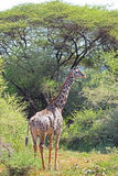 Giraffe in Lake Manyara National Park, Tanzania Royalty Free Stock Photo