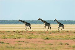 Giraffe landscape Royalty Free Stock Photo