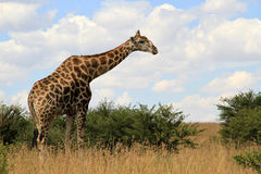 Giraffe. Landscape photo of giraffe. Blue sky. The South African giraffe or Cape giraffe (Giraffa camelopardalis giraffa) is a subspecies of giraffe native to stock images