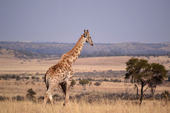 Giraffe. Landscape photo of giraffe in winter veld. Blue sky. The South African giraffe or Cape giraffe (Giraffa camelopardalis giraffa) is a subspecies of Stock Image