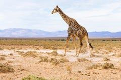 Giraffe in landscape of South Africa, wildlife safari. Wild animal Royalty Free Stock Photo