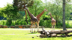 Giraffe. Latin Giraffa camelopardalis is a mammal from the group of cloven-hoofed,  families. It is the highest terrestrial animal of the planet Royalty Free Stock Images