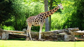 Giraffe. Latin Giraffa camelopardalis is a mammal from the group of cloven-hoofed,  families. It is the highest terrestrial animal of the planet Royalty Free Stock Photography
