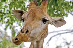 Giraffe Latin Giraffa camelopardalis is smiling. Closeup. Mesh giraffe. Wild nature. Giraffe is the highest terrestrial animal. Of the planet royalty free stock photos