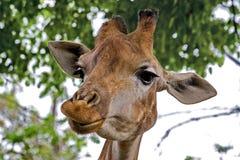 Giraffe Latin Giraffa camelopardalis is smiling. Closeup. Mesh giraffe. Wild nature. Giraffe is the highest terrestrial animal. Of the planet stock photo