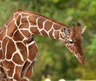 Giraffe the world's tallest animals Royalty Free Stock Image