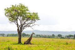 Giraffe lays under the tree Royalty Free Stock Images
