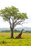 Giraffe lays under the tree Royalty Free Stock Image
