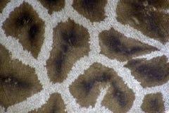 Giraffe leather texture royalty free stock photos