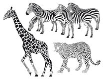 Giraffe with leopard and zebras Stock Photo