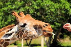 Giraffe with lettuce in mouth Stock Images