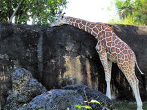Giraffe Licking Stock Image