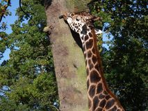 Giraffe licking the bark on tree Stock Image