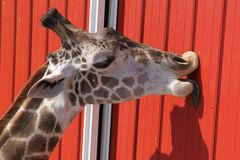 Giraffe licking corrugated metal. Giraffe in bright sunlight licking corrugated metal wall Stock Photo