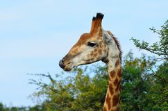 Giraffe licking its nose in africa stock photography