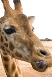 Giraffe licking lips Royalty Free Stock Photos