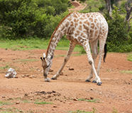 Giraffe licking salt on the ground Stock Images