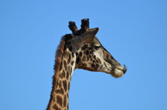 Giraffe Licking the Tip of His Nose Royalty Free Stock Photography