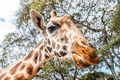 Giraffe licking with tongue in kenya royalty free stock photo