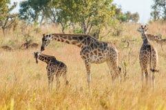 The giraffe licks a cub. Africa. Kenya. Royalty Free Stock Photo