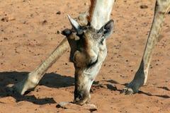 Giraffe licks Salt Royalty Free Stock Photos