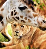 Giraffe and lion Royalty Free Stock Image