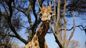 Giraffe at Lion Park in South Africa Royalty Free Stock Image