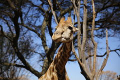 Giraffe at Lion Park in South Africa Royalty Free Stock Photos