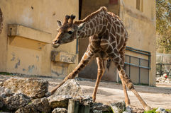 Giraffe in Lissabon-Zoo Lizenzfreies Stockfoto