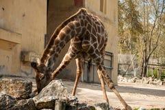 Giraffe in Lissabon-Zoo Lizenzfreies Stockbild