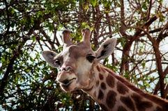 Giraffe in Lissabon-Zoo Stockfotografie