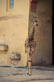 Giraffe in Lissabon-Zoo Lizenzfreie Stockfotos