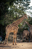 Giraffe in Lissabon-Zoo Stockfotos