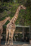 Giraffe in Lissabon-Zoo Stockfoto