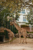 Giraffe in Lissabon-Zoo Stockbilder