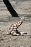 giraffe little 库存照片