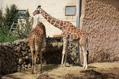 Giraffe lives in a safari. In Tel - Aviv in Israel Royalty Free Stock Photography