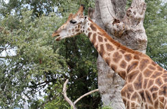 Giraffe with a long neck eats the leaves Royalty Free Stock Image