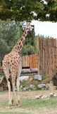 giraffe with a long neck eats Stock Photography