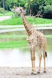 Giraffe long neck Stock Photo