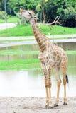 Giraffe long neck Stock Photo