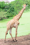Giraffe long neck. In funny action Royalty Free Stock Image